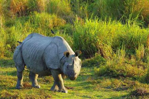 One Horned Indian Rhinoceros at Gorumara