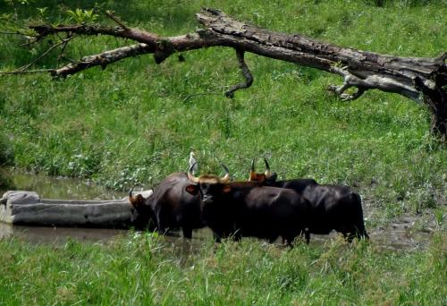 Bison at Chapramari forest