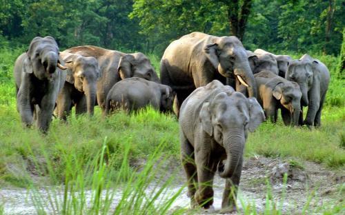 Elephant Jaldapara National Park
