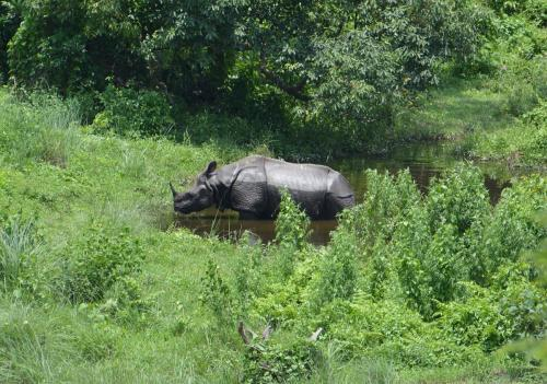 One Horned Indian Rhinoceros at Gorumara National Park,