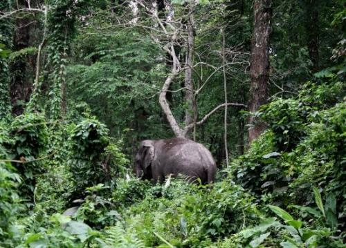 Wild Elephant - Picture of Chilapata