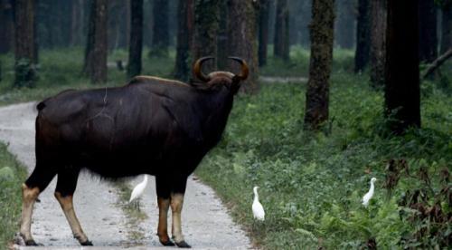 Bison at Gorumara